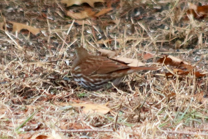 Fox Sparrow @ August Busch CA