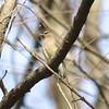 Cedar Waxwing @ August Busch CA