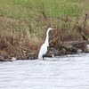 Great Egret @ August Busch CA