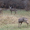White-tailed Deer (8 Males) [Odocoileus virginianus] @ Country Field Yard in Chesterfield