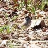 White-throated Sparrow @ Simpson Lake CP