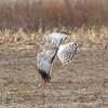 Northern Harrier (Male) @ BK Leach CA