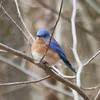 Eastern Bluebird @ Rockwoods Reservation