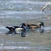 Wood Ducks (Pair) @ Simpson Lake CP