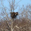 Bald Eagle on Nest @ Simpson Lake CP