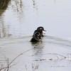 Wood Ducks (Pair) @ BK Leach CA