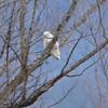 Snowy Owl @ BK Leach CA