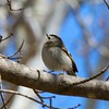 Golden-crowned Kinglet @ Simpson Lake CP