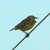 Eastern Meadowlark @ BK Leach CA
