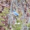 Belted Kingfisher @ Rockwoods Reservation