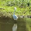 Snowy Egret @ Horseshoe Lake SP