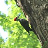 Pileated Woodpecker @ Castlewood SP
