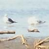 Lesser Black-backed Gull @ Riverlands MBS