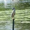 Black-crowned Night Heron @ Horseshoe Lake SP