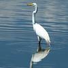 Great Egret @ Horseshoe Lake SP