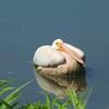 American White Pelican @ Horseshoe Lake SP