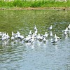 Ring-billed Gulls with Great Egret @ Horseshoe Lake SP