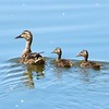 Mallard (Female) with Ducklings @ Horseshoe Lake SP