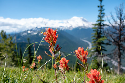 Tail-end of the season for Indian Paintbrush, with Mt. Rainier in the background.