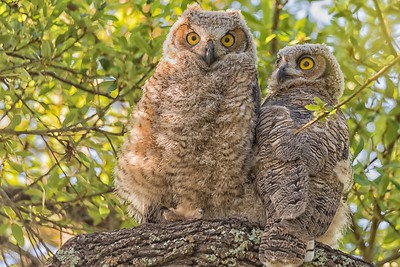 Great Horned Owlets...May 16, 2018