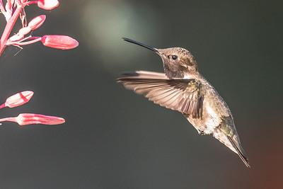 Black Chin Hummingbird...May 16, 2018