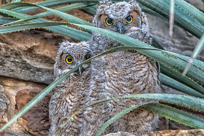 Great Horned Owlets...April 25, 2018