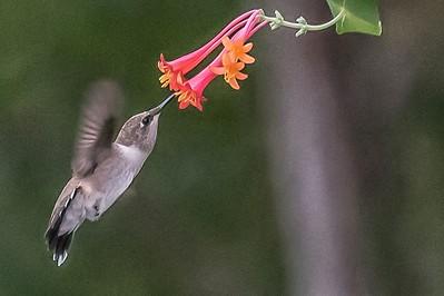 Black Chin Hummingbird...June 16, 2018