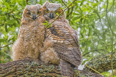 Great Horned Owlets...May 14, 2018
