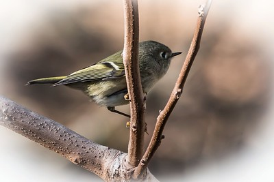 Ruby Crowned Kinglet....January 25, 2018
