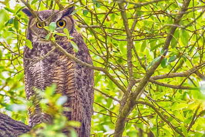 Athena the Great Horned Owl...May 12, 2018