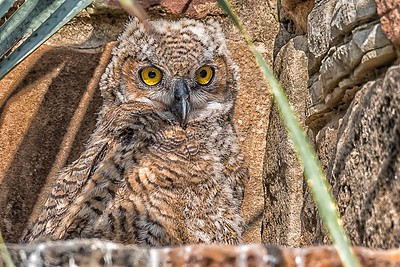 Great Horned Owlet (last one left in nest)...April 27, 2018
