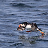Atlantic Puffin taking off from water in Newfoundland, Canada.