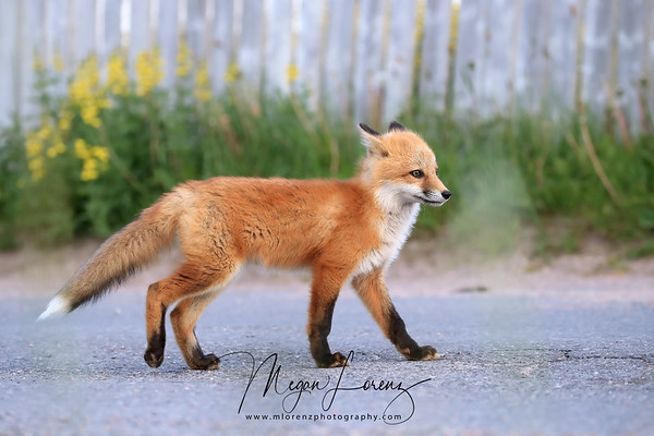 Red Fox Kit walking along a road in Newfoundland, Canada.