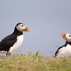 Atlantic Puffins interacting in Newfoundland, Canada.