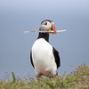 Atlantic Puffin holding a feather in his beak in Newfoundland, Canada.