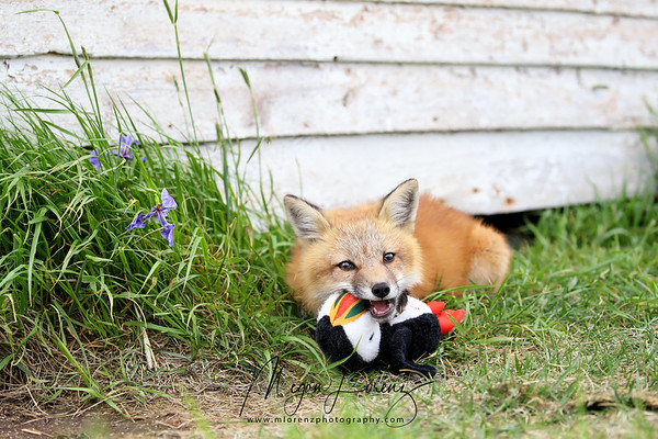 """""""I like my new friend but he makes too much noise.  This will shut him up!""""<br /> Red Fox Kit chewing on a puffin toy which someone left behind in Newfoundland, Canada."""