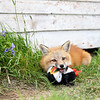 """I like my new friend but he makes too much noise.  This will shut him up!""<br /> Red Fox Kit chewing on a puffin toy which someone left behind in Newfoundland, Canada."