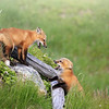 Two Red Fox Kits playing in Newfoundland, Canada
