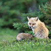 Red Fox Vixen in Newfoundland, Canada