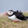 Atlantic Puffin ruffled by the stong wind in Newfoundland, Canada.