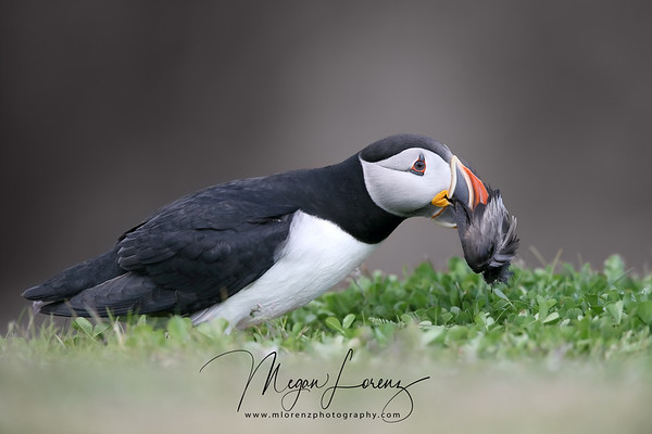 Atlantic Puffin with birds wings in his beak in Newfoundland, Canada.