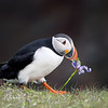 Atlantic Puffin walking with an Iris in his beak in Newfoundland, Canada.