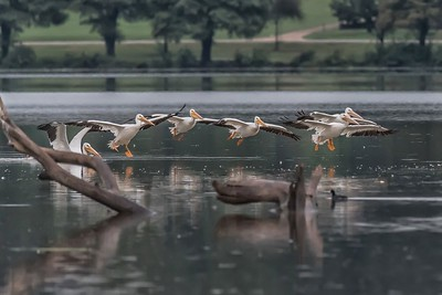 Pelicans...White Rock Lake, Dallas, Texas....October 14, 2018