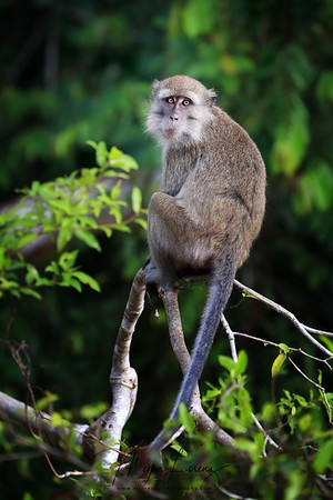 Long-tailed Macaque in Borneo.