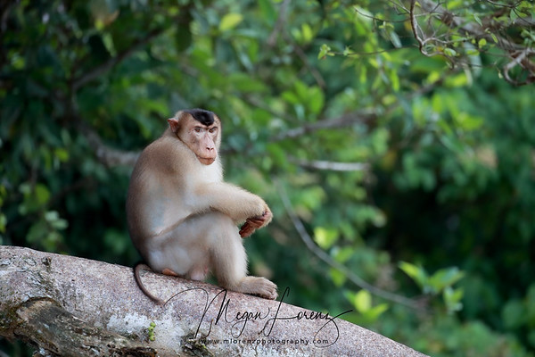 Male Southern Pig-Tailed Macaque (Macaca nemestrina) in Borneo, Malaysia. It is known locally as the Beruk.