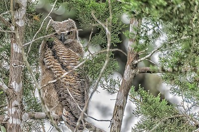 Fledged GHO.  About 8- weeks old...May 9, 2019