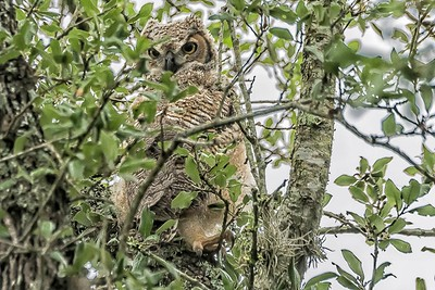 Baby Great Horned Owl....May 11, 2019