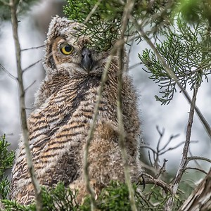 Baby Great Horned Owl...May 6, 2019