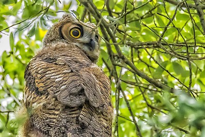 Great Horned Owlet...May 25, 2019