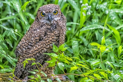 Great Horned Owlet...Fledged May 3, 2019